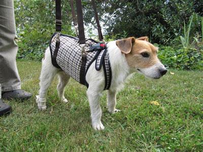 介護用ハーネスをつけて自立する犬