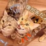 甘い声で餌を待つ可愛い二匹のベンガル猫ちゃん