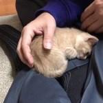 お父さんの膝の上に何度でも乗ってくる仔猫の動画