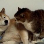 柴犬が猫をなめて猫パンチされちゃうけど、癒される♪