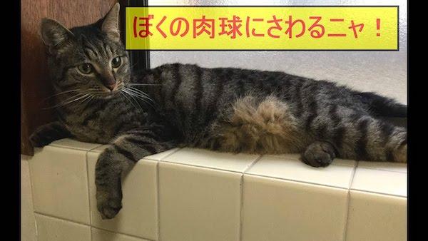 猫ちゃんがとても嫌がる肉球を触ってあげる動画