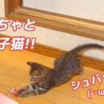 キジトラ子猫VS猫じゃらし 勝つのはどっちだ!!