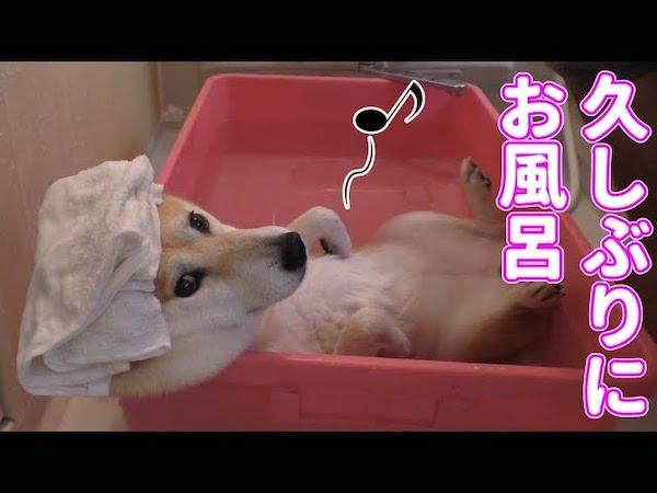人間のようにお風呂を満喫する珍しいワンちゃん