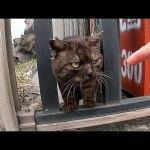 強面の野良猫ちゃんがめっちゃ人懐っこかった動画