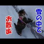 猫なのに犬になりきって散歩する様子が可愛い動画