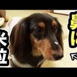 お米を使ってイチャイチャ♡ダックスフンドちゃんが可愛すぎる!
