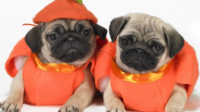 http://www.dogwallpapers.net/pug/two-cute-pug-dogs-wallpaper.html