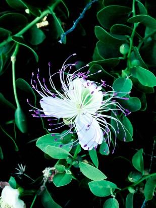 Lo flor de la alcaparra.