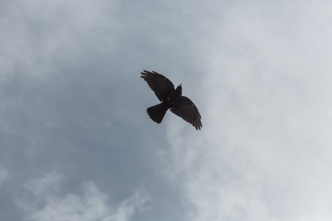 Cuervo grande sobrevolando la cordillera de Nordkette.