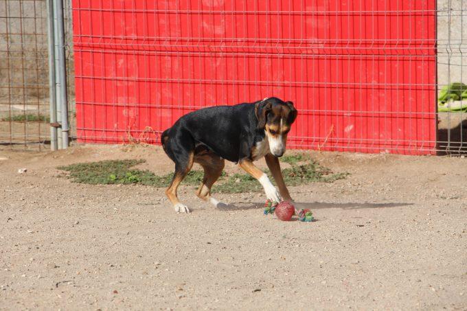 Uno de los perros jugando dentro de sus pocos minutos de ocio.
