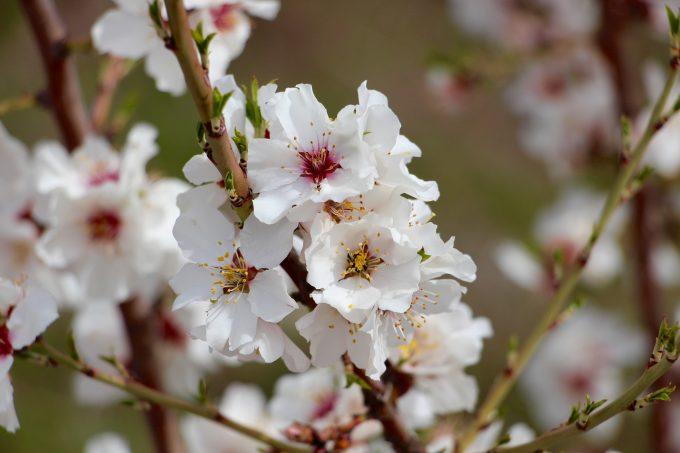 Flor del almendro.
