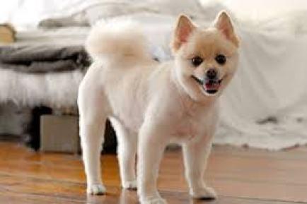 10 Pomeranian Hair Cut Ideas