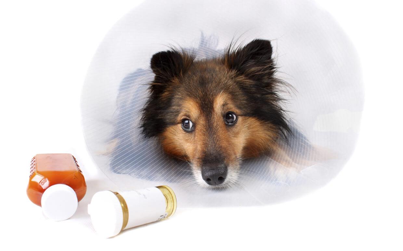 Прерывание ушной честоки у собак на корню. Лечение ушного клеща у собак