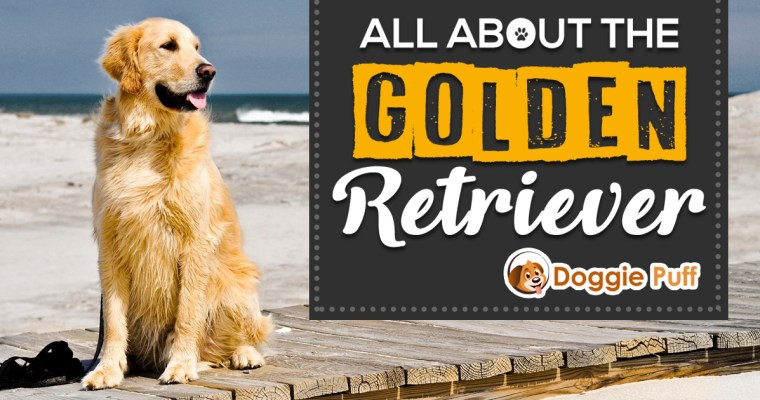 All About The Golden Retriever