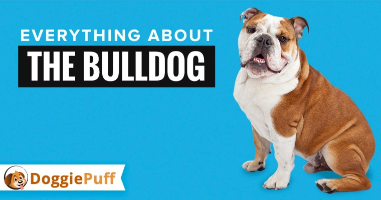 Everything about the Bulldog