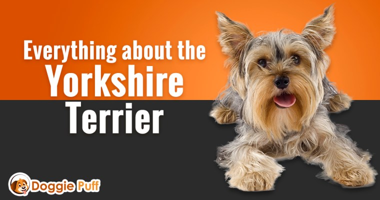 Everything about the Yorkshire Terrier
