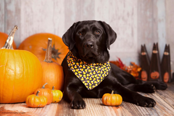 how to give pumpkin to dogs