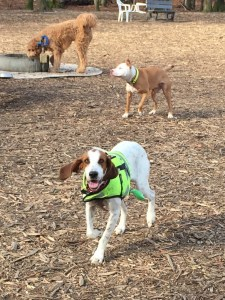Liberty the American Foxhound