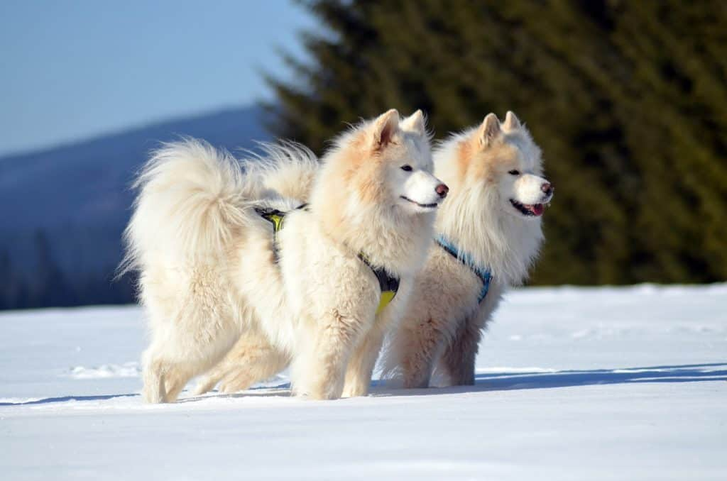 Along the way, you'll meet everyone from adorable floofs to stealthy puppers known for their hunting prowess. Are Samoyeds Hypoallergenic? | DoggOwner
