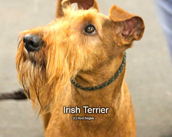 An Irish terrier show dog looking beautifully groomed.