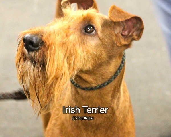 An Irish terrier show dog looking beautifully groomed.