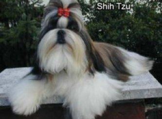 Shih zu grooming