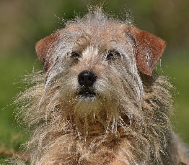 A hairy dog in need of a good grooming!