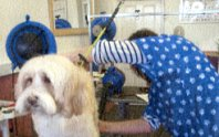 Alison dog grooming in the Dougals grooming parlour.