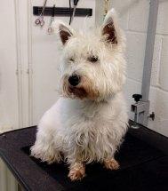 Sophie before her grooming