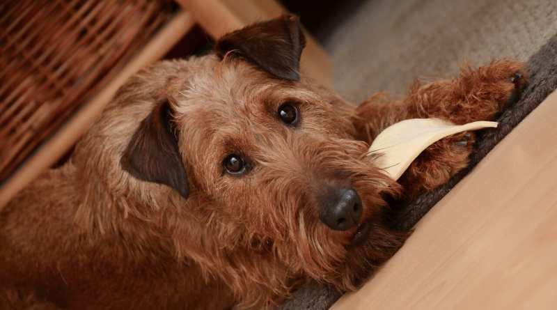 Wesen des Irish Terrier