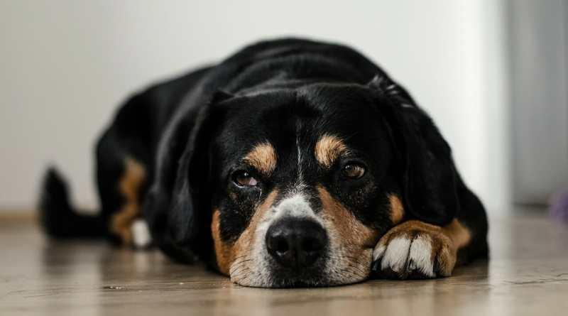 Trauer von Hunden