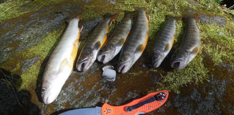渓流釣り イワナ
