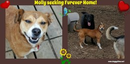 Molly is a (JUST PAWS) adoptable dog of around 2. She's spayed and UTD on vaccines. Looking for a dog experienced home, with maybe an existing dog. Ok with dog savvy cats. Kids 12 and up Ok. Visit http://www.justpawsanimalrescue.com/ for an Adoption Application