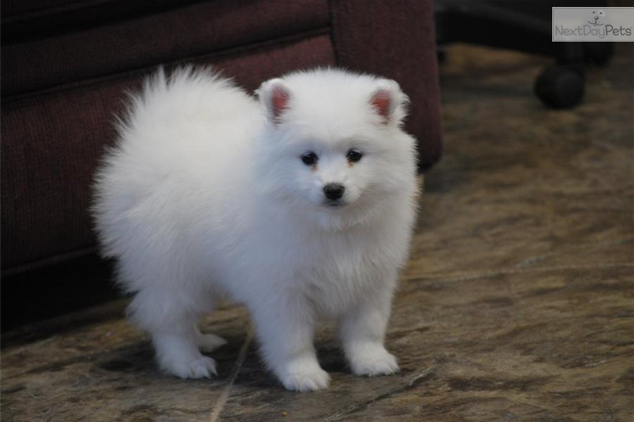 Image result for american eskimo dog