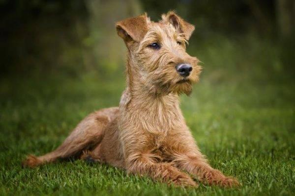 Ирландский терьер: фото собаки, цена, описание породы ...
