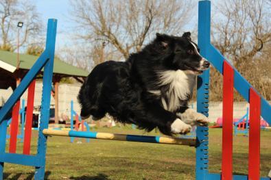 agility-aussie-jump