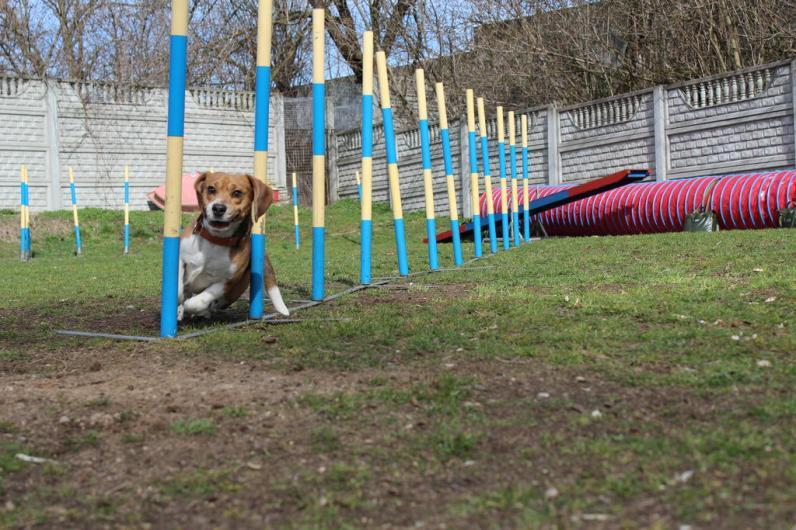 agility-beagle-slalom