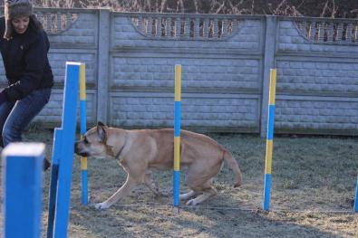 agility-dogo-canario-slalom