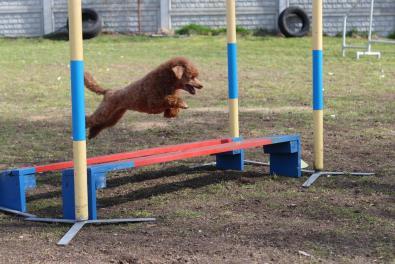 agility-pudel-toy-skok-w-dal