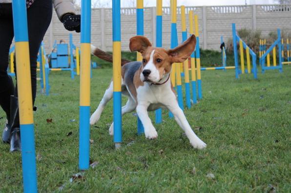 agility-slalom-beagle
