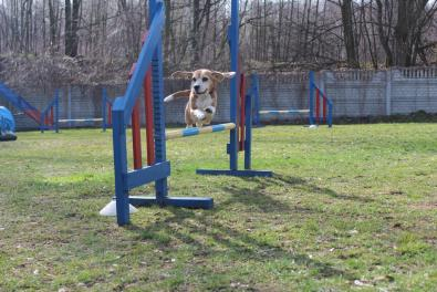 agility beagle skok