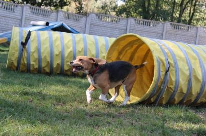beagle tunel agility