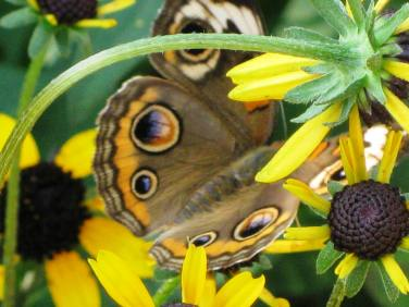 Buckeye Butterfly and Black-eyed Susans