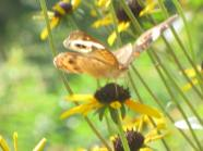Buckeye Butterfly and pretty yellow flowers make a Green Healing moment in time.