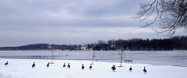 Geese on the shore of Binder Lake in Jefferson City, Mo., near their newest course.