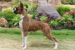 Boxer - top 10 dangerous dogs