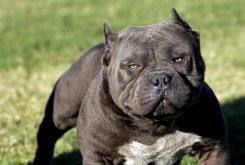 Top 10 Dangerous Dogs Breeds List