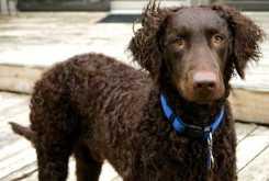 Curly-Coated Retriever Dog Photos