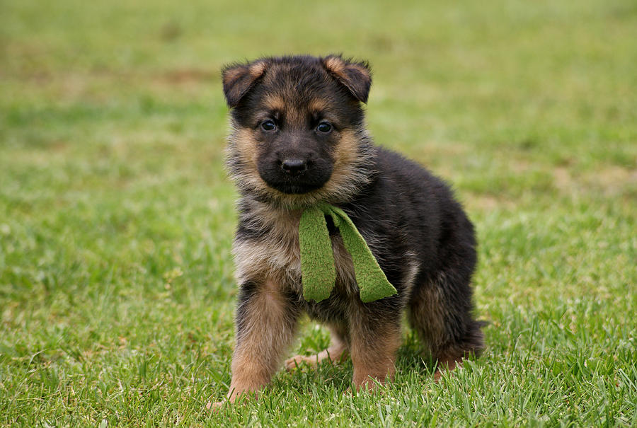 German Shepherd puppy for sale near In Germany