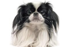 Pekingese | Small Dog Breeds